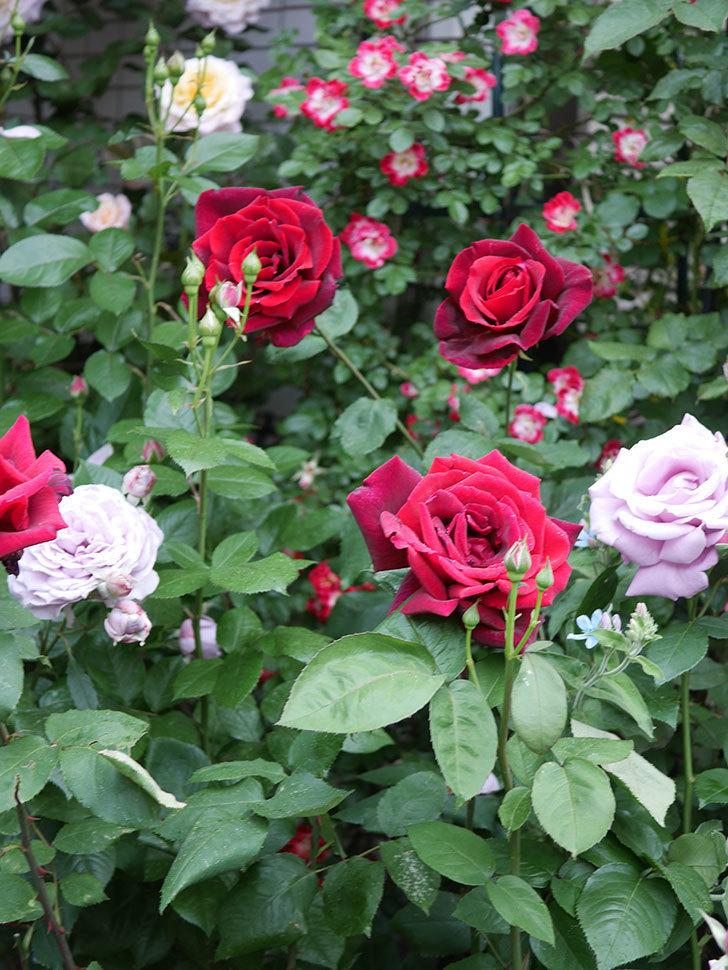 パパ・メイアン(Papa Meilland)の花がたくさん咲いた。木立バラ。2021年-055.jpg