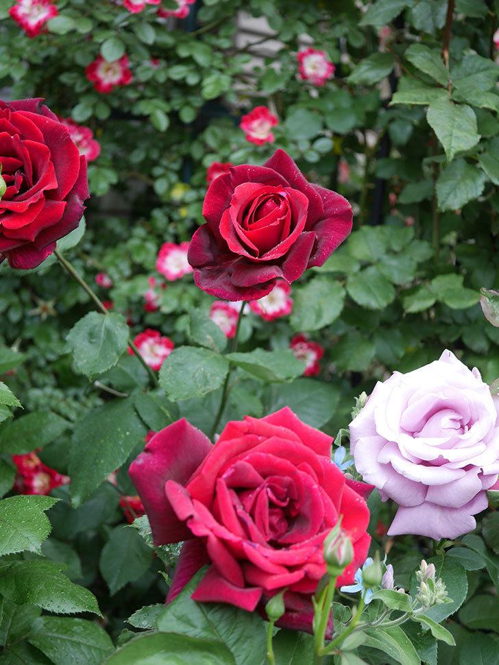 パパ・メイアン(Papa Meilland)の花がたくさん咲いた。木立バラ。2021年-062.jpg