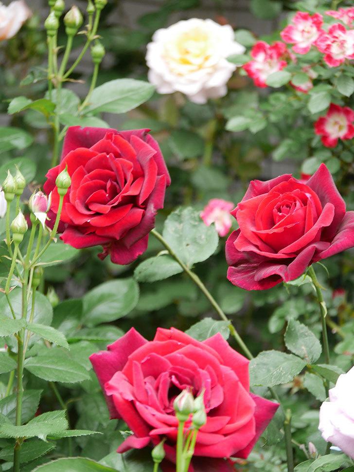 パパ・メイアン(Papa Meilland)の花がたくさん咲いた。木立バラ。2021年-066.jpg