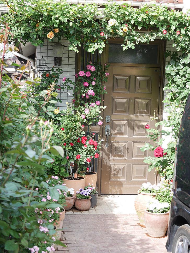 パパ・メイアン(Papa Meilland)の花が咲いた。木立バラ。2021年-001.jpg