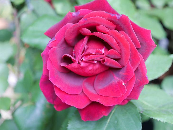 パパ・メイアン(Papa Meilland)の花が咲いた。木立バラ。2021年-002.jpg