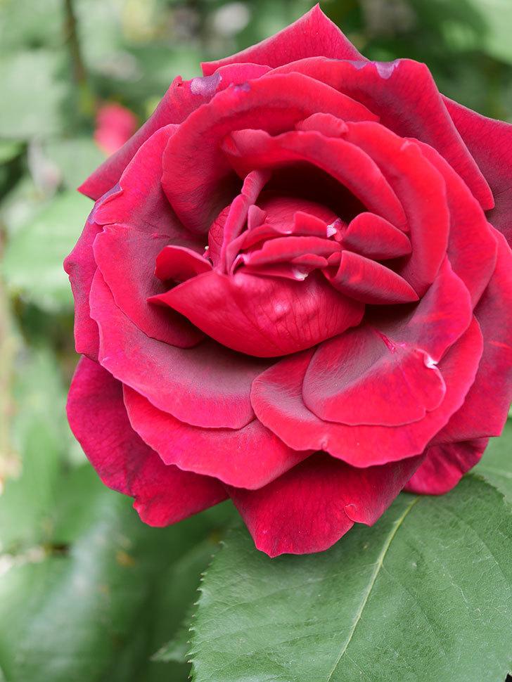 パパ・メイアン(Papa Meilland)の花が咲いた。木立バラ。2021年-005.jpg