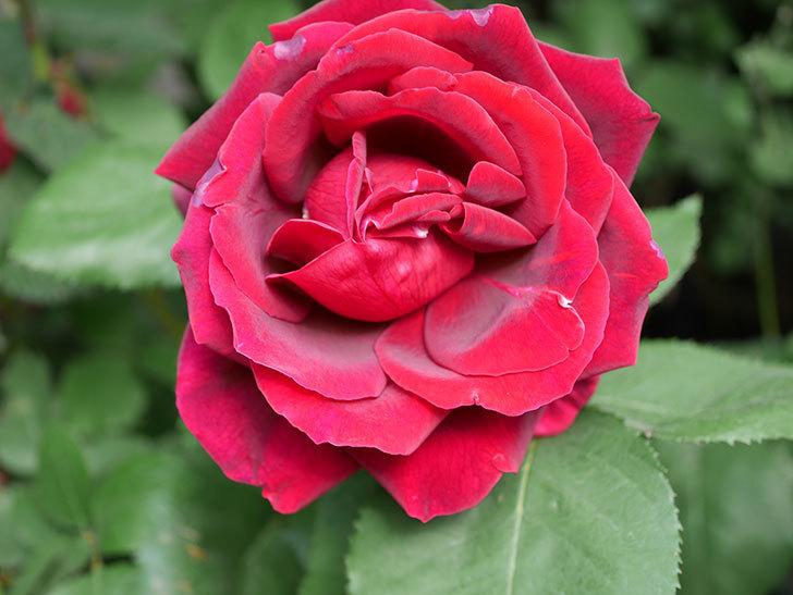 パパ・メイアン(Papa Meilland)の花が咲いた。木立バラ。2021年-011.jpg