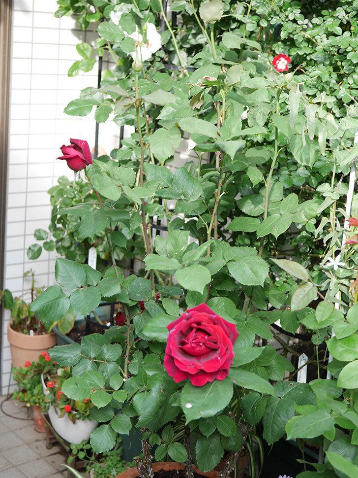 パパ・メイアン(Papa Meilland)の花が咲いた。木立バラ。2021年-012.jpg