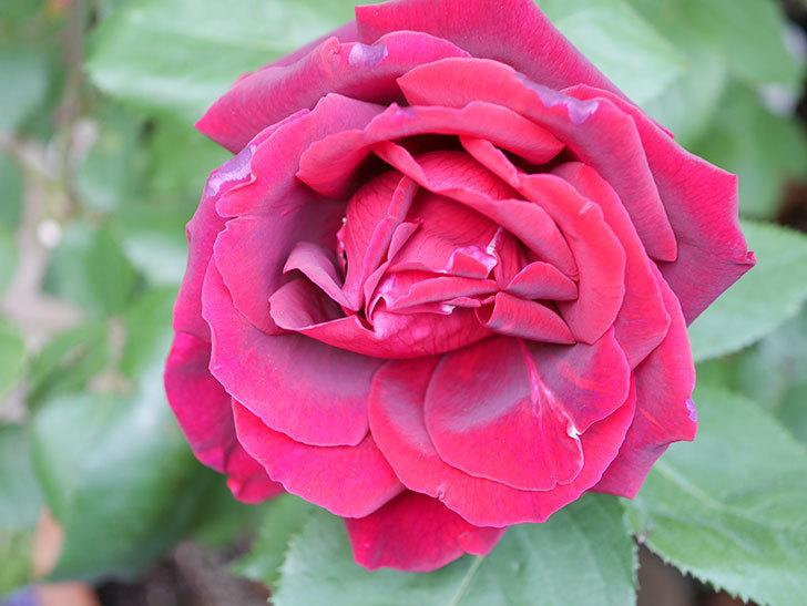 パパ・メイアン(Papa Meilland)の花が咲いた。木立バラ。2021年-013.jpg