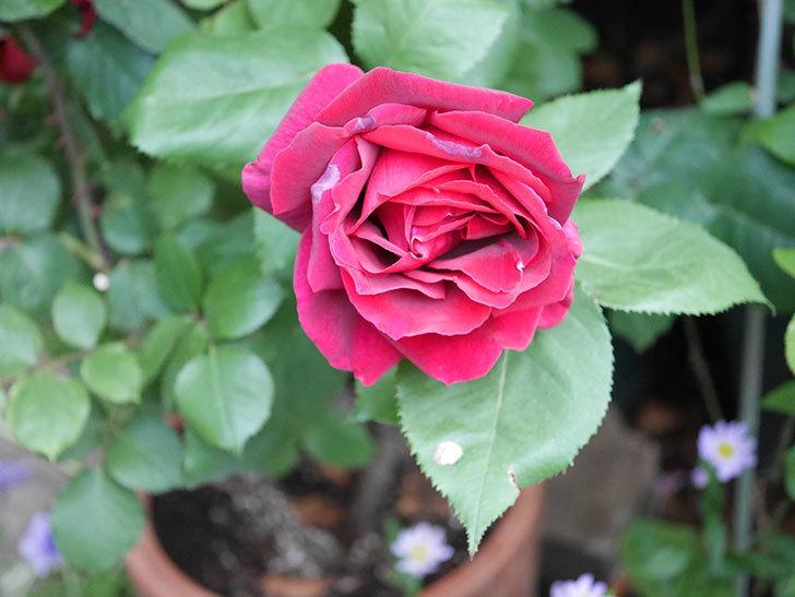 パパ・メイアン(Papa Meilland)の花が咲いた。木立バラ。2021年-014.jpg