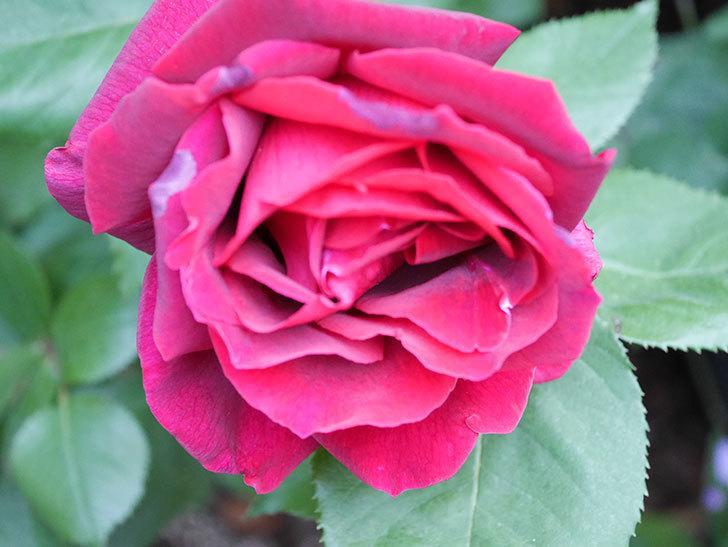 パパ・メイアン(Papa Meilland)の花が咲いた。木立バラ。2021年-015.jpg