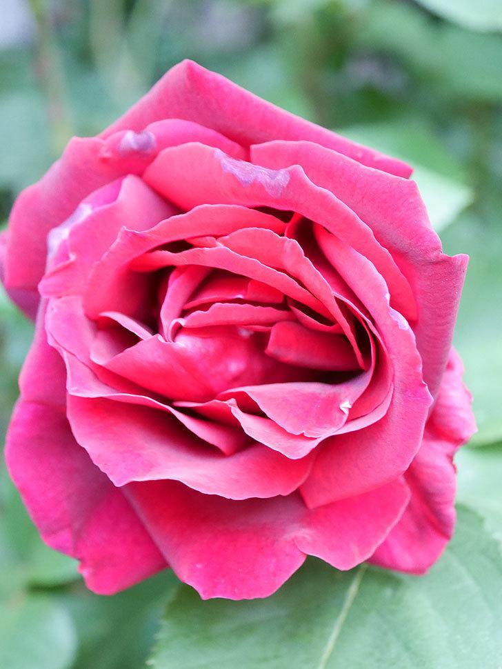 パパ・メイアン(Papa Meilland)の花が咲いた。木立バラ。2021年-017.jpg