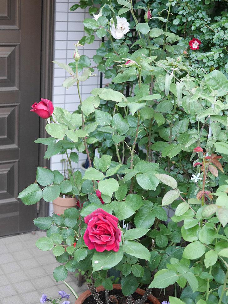 パパ・メイアン(Papa Meilland)の花が咲いた。木立バラ。2021年-018.jpg