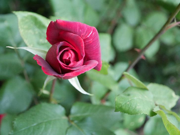 パパ・メイアン(Papa Meilland)の花が咲いた。木立バラ。2021年-020.jpg