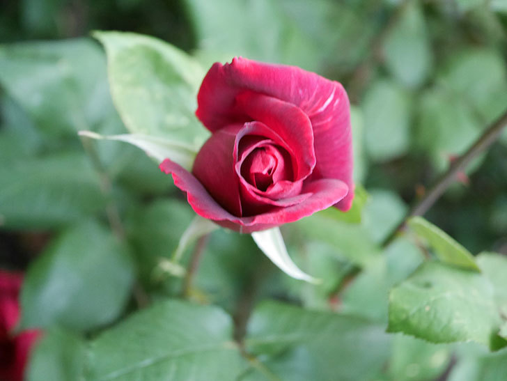 パパ・メイアン(Papa Meilland)の花が咲いた。木立バラ。2021年-021.jpg