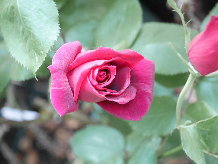 パパ・メイアン(Papa Meilland)の花が咲いた。木立バラ。2021年-023.jpg