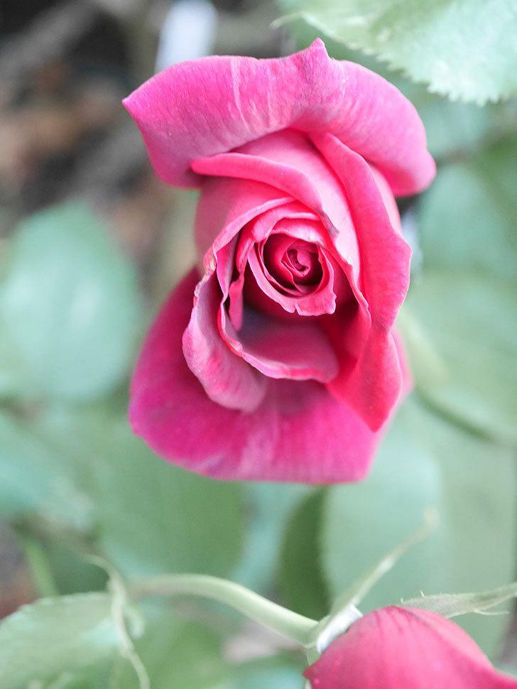 パパ・メイアン(Papa Meilland)の花が咲いた。木立バラ。2021年-024.jpg