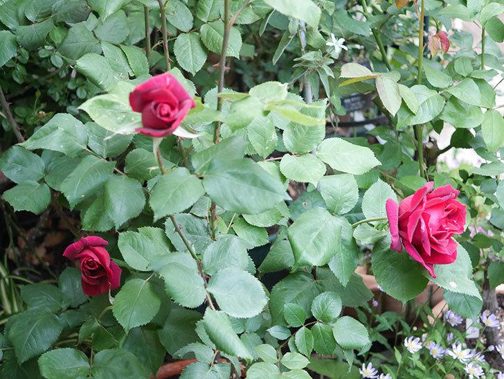 パパ・メイアン(Papa Meilland)の花が咲いた。木立バラ。2021年-025.jpg