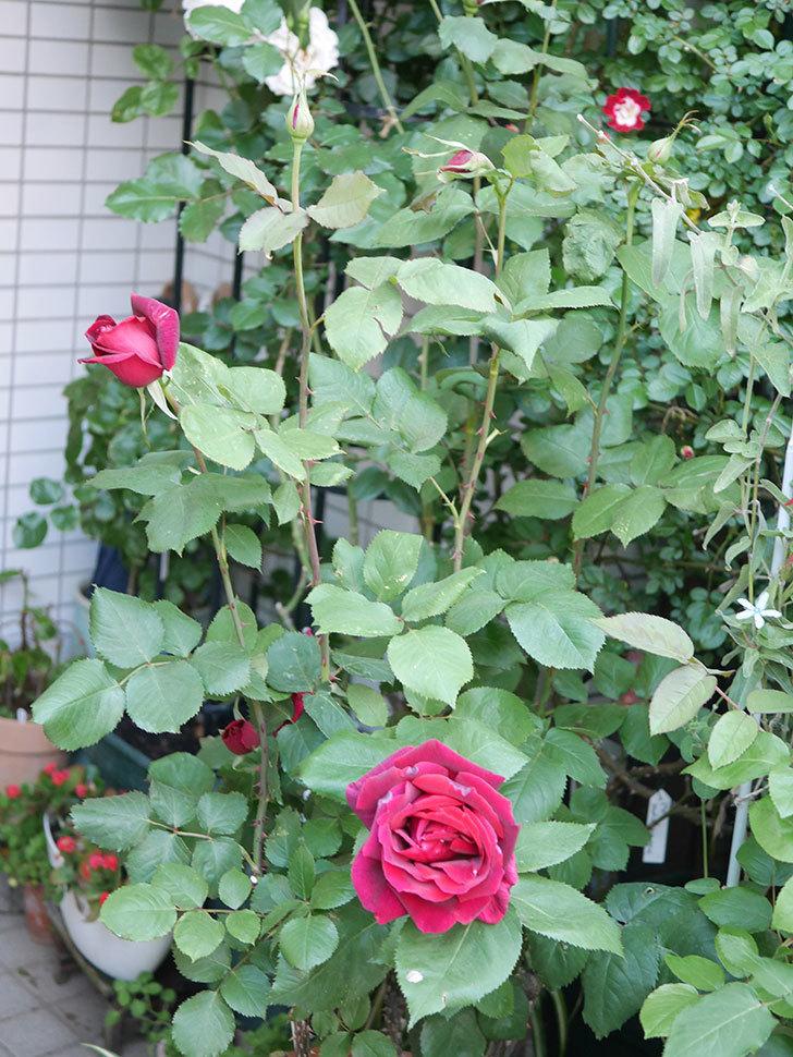 パパ・メイアン(Papa Meilland)の花が咲いた。木立バラ。2021年-027.jpg