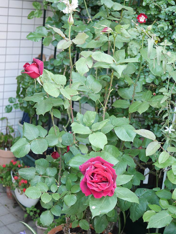 パパ・メイアン(Papa Meilland)の花が咲いた。木立バラ。2021年-028.jpg