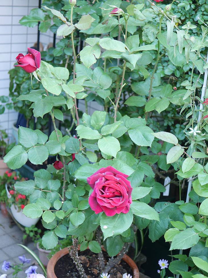 パパ・メイアン(Papa Meilland)の花が咲いた。木立バラ。2021年-029.jpg