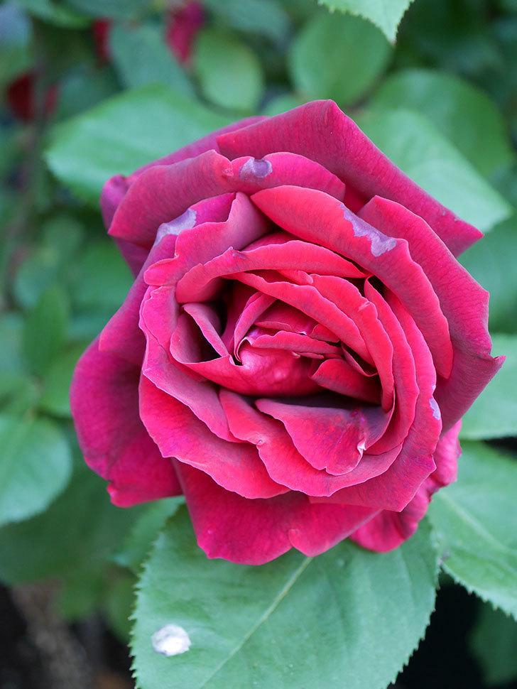 パパ・メイアン(Papa Meilland)の花が咲いた。木立バラ。2021年-031.jpg