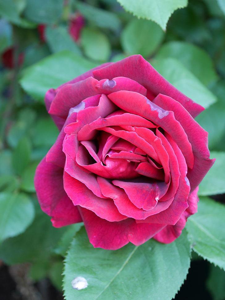 パパ・メイアン(Papa Meilland)の花が咲いた。木立バラ。2021年-032.jpg