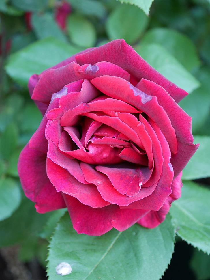 パパ・メイアン(Papa Meilland)の花が咲いた。木立バラ。2021年-033.jpg