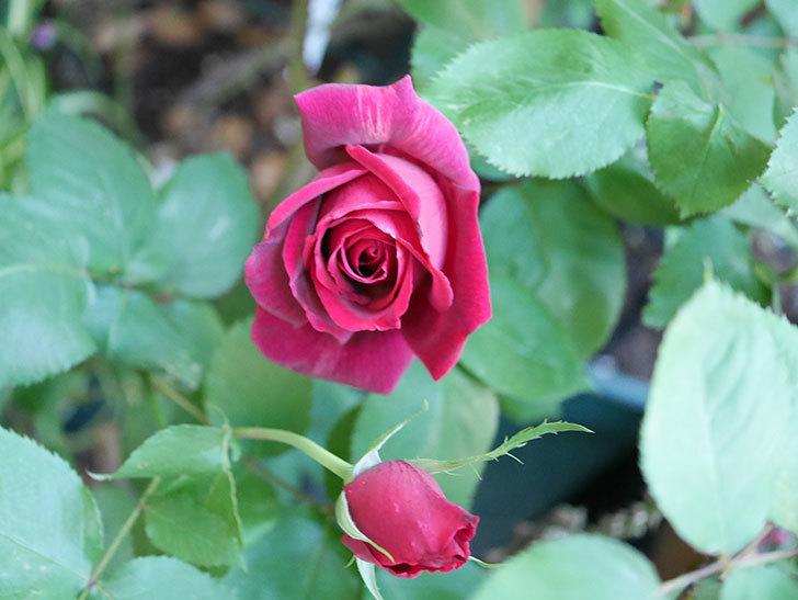 パパ・メイアン(Papa Meilland)の花が咲いた。木立バラ。2021年-038.jpg