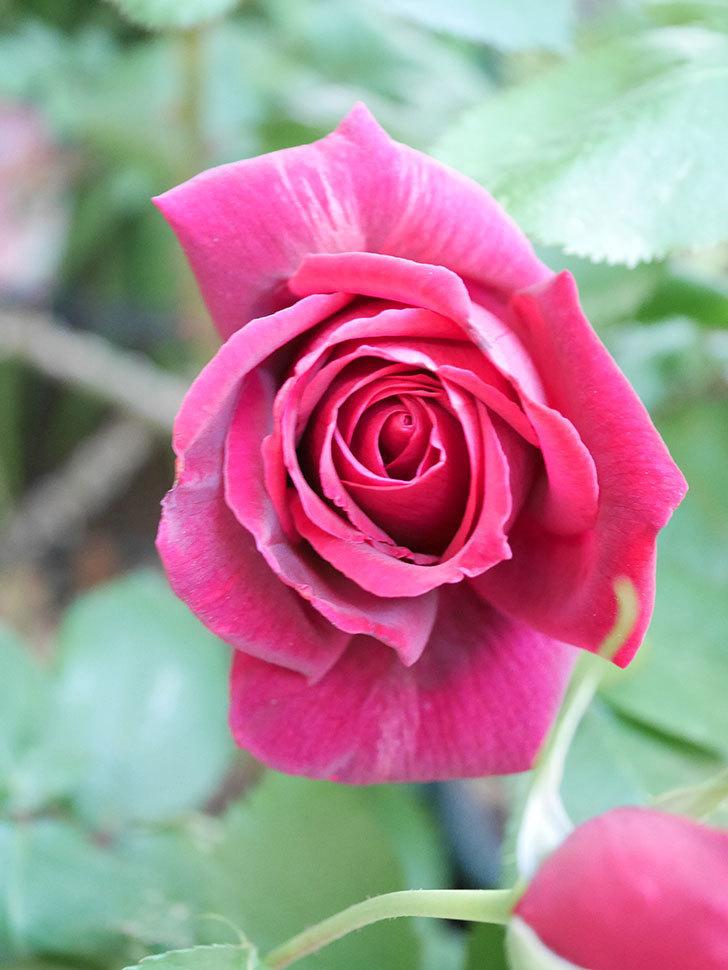パパ・メイアン(Papa Meilland)の花が咲いた。木立バラ。2021年-041.jpg