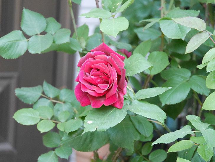 パパ・メイアン(Papa Meilland)の花が咲いた。木立バラ。2021年-042.jpg