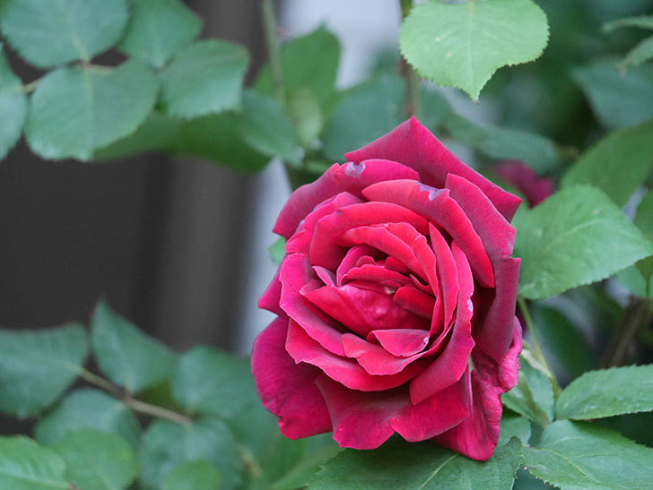 パパ・メイアン(Papa Meilland)の花が咲いた。木立バラ。2021年-043.jpg