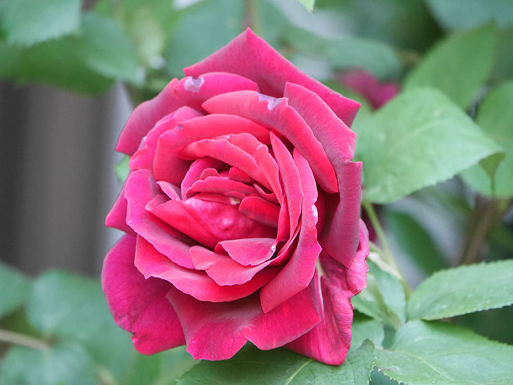 パパ・メイアン(Papa Meilland)の花が咲いた。木立バラ。2021年-044.jpg