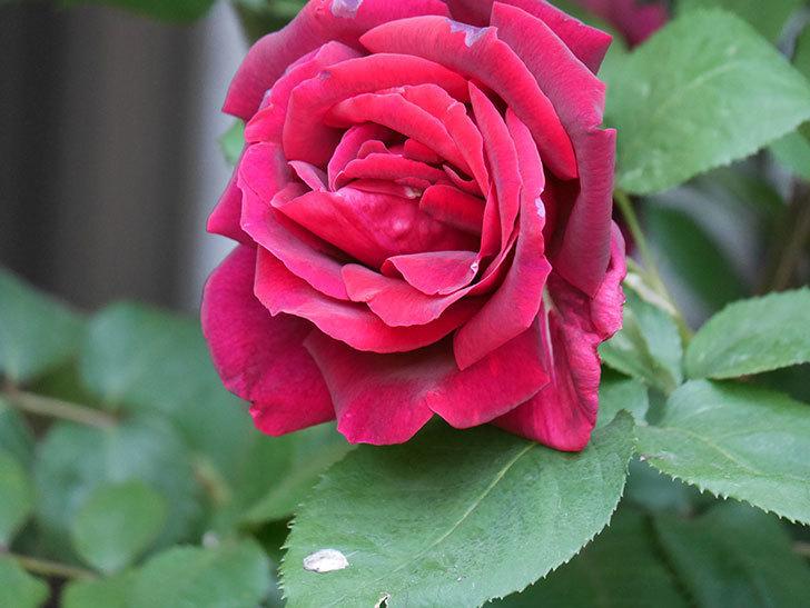 パパ・メイアン(Papa Meilland)の花が咲いた。木立バラ。2021年-045.jpg