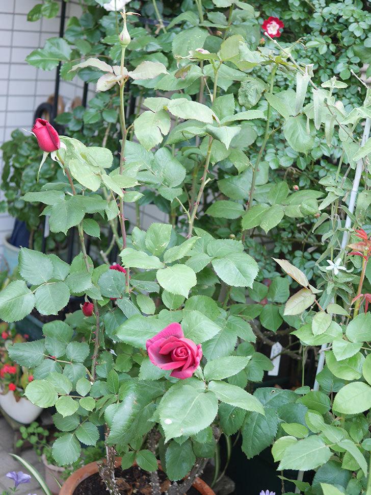 パパ・メイアン(Papa Meilland)の花が少し咲いた。木立バラ。2021年-006.jpg