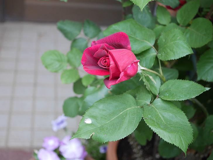 パパ・メイアン(Papa Meilland)の花が少し咲いた。木立バラ。2021年-008.jpg
