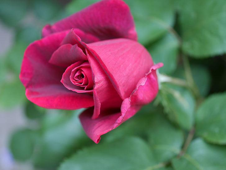 パパ・メイアン(Papa Meilland)の花が少し咲いた。木立バラ。2021年-009.jpg