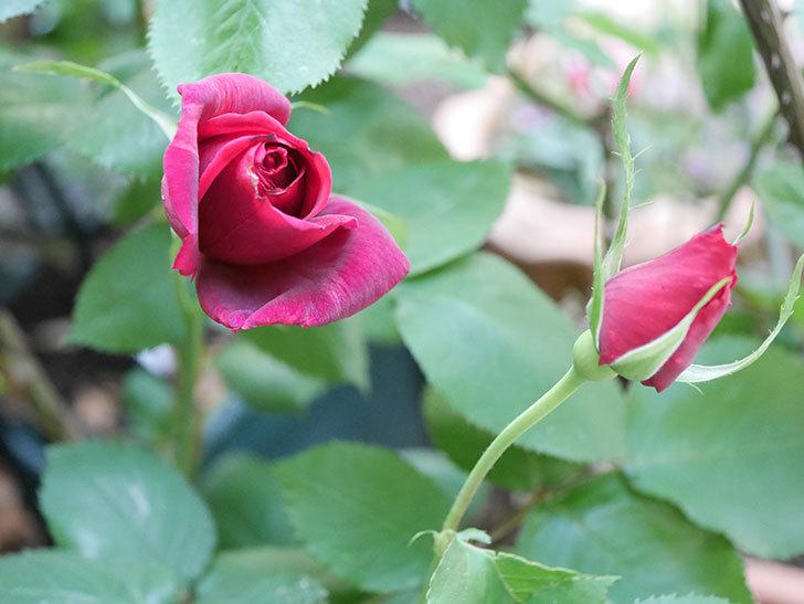 パパ・メイアン(Papa Meilland)の花が少し咲いた。木立バラ。2021年-015.jpg