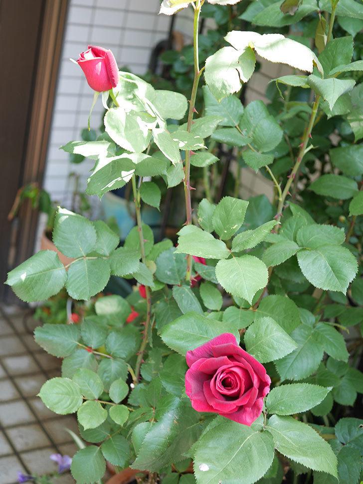 パパ・メイアン(Papa Meilland)の花が少し咲いた。木立バラ。2021年-019.jpg