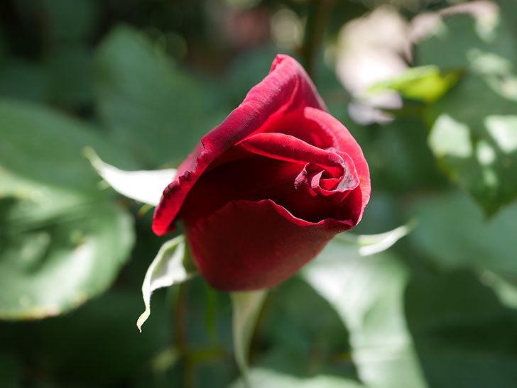 パパ・メイアン(Papa Meilland)の花が少し咲いた。木立バラ。2021年-024.jpg
