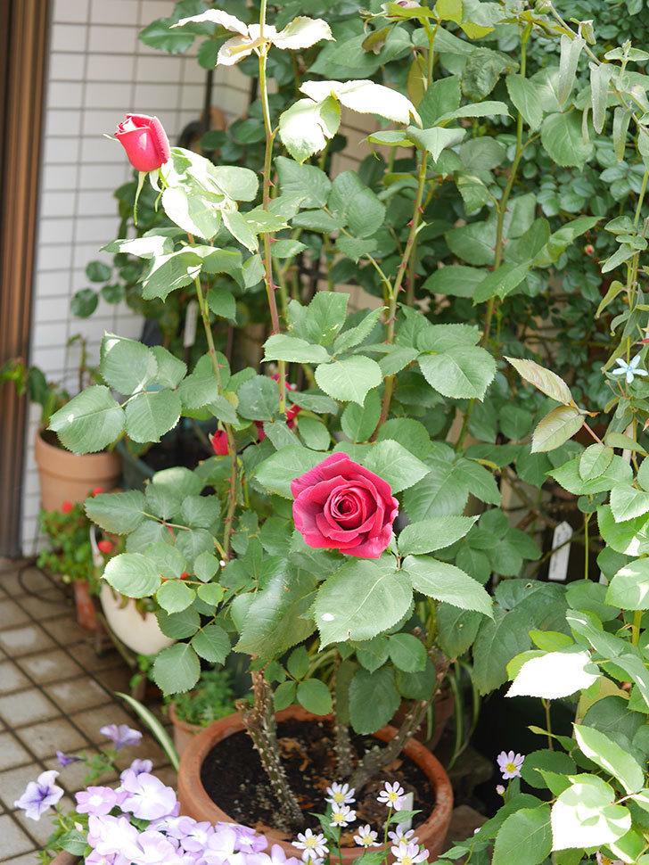 パパ・メイアン(Papa Meilland)の花が少し咲いた。木立バラ。2021年-026.jpg