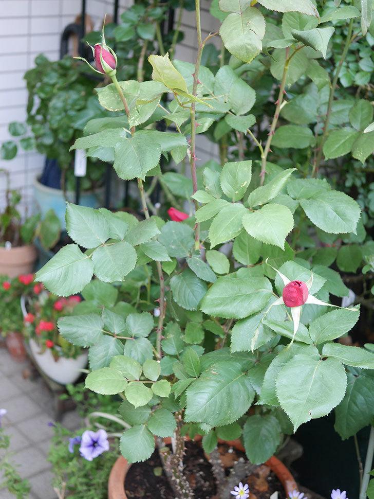 パパ・メイアン(Papa Meilland)の蕾が膨らんで来た。木立バラ。2021年-004.jpg