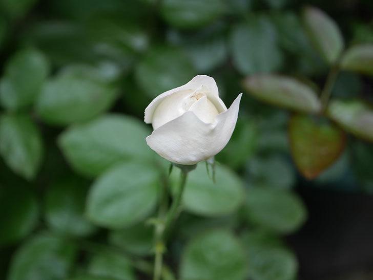 パブロア(Pavlova)の2番花が咲いた。半ツルバラ。2020年-001.jpg