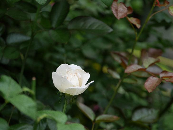 パブロア(Pavlova)の2番花が咲いた。半ツルバラ。2020年-003.jpg