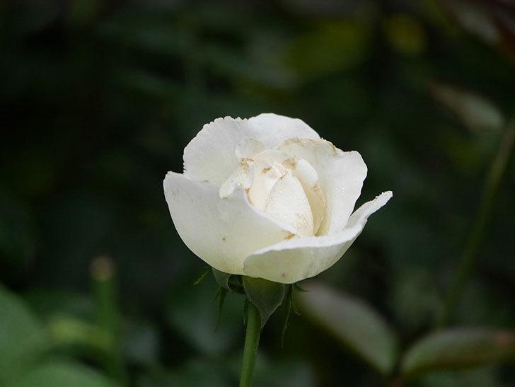 パブロア(Pavlova)の2番花が咲いた。半ツルバラ。2020年-004.jpg