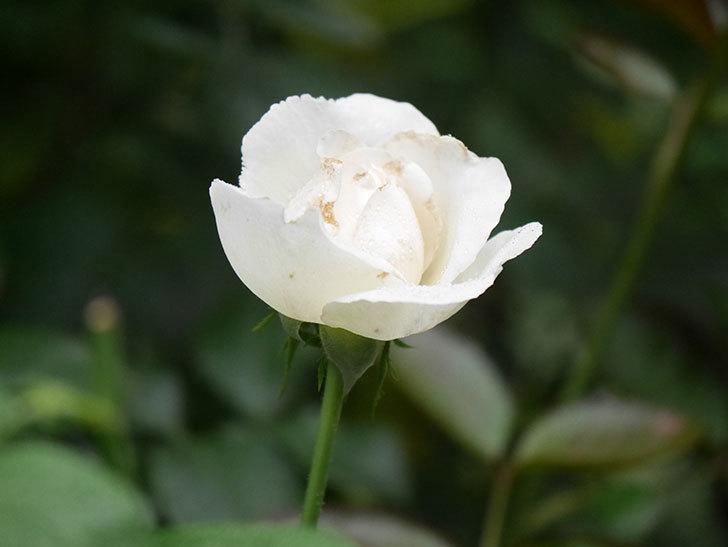 パブロア(Pavlova)の2番花が咲いた。半ツルバラ。2020年-005.jpg