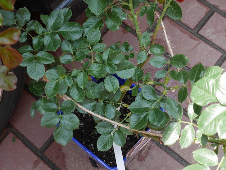 パブロア(Pavlova)の大苗(鉢植え苗)をはなはなショップで買った。半ツルバラ。2020年-002.jpg