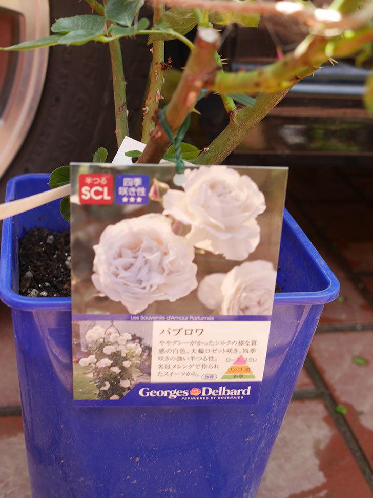 パブロア(Pavlova)の大苗(鉢植え苗)をはなはなショップで買った。半ツルバラ。2020年-004.jpg