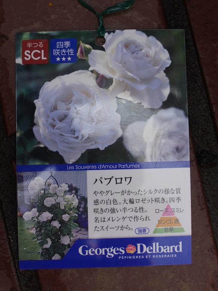 パブロア(Pavlova)の大苗(鉢植え苗)をはなはなショップで買った。半ツルバラ。2020年-005.jpg