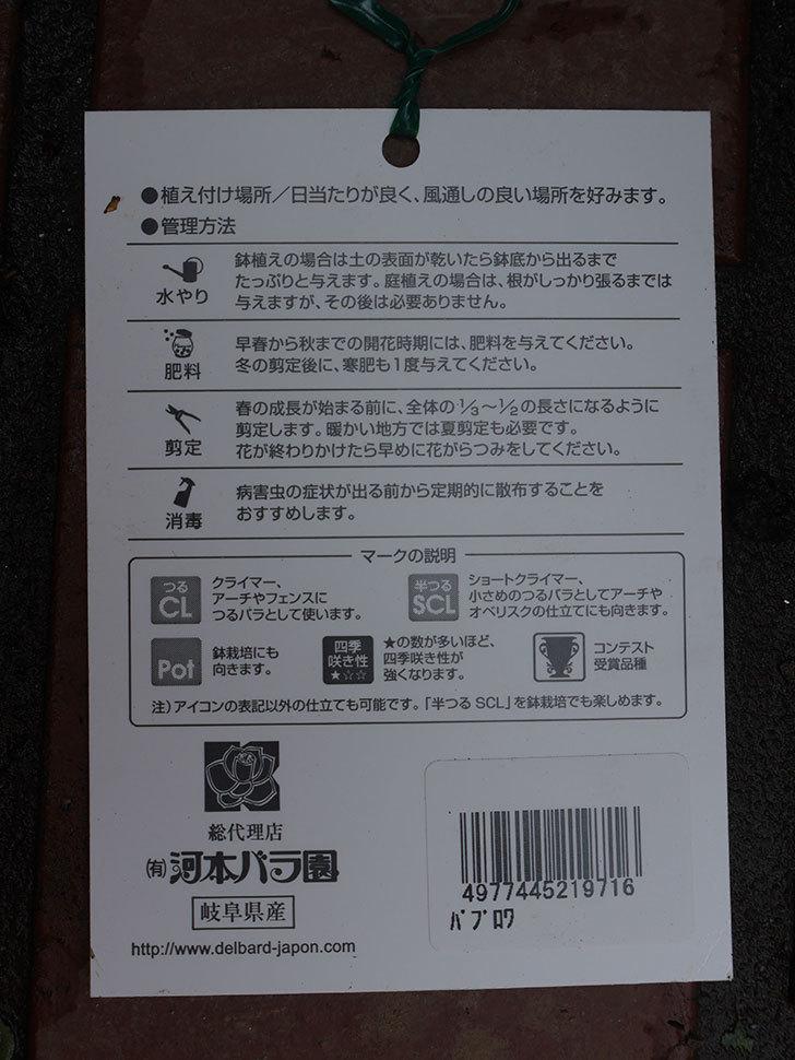 パブロア(Pavlova)の大苗(鉢植え苗)をはなはなショップで買った。半ツルバラ。2020年-006.jpg