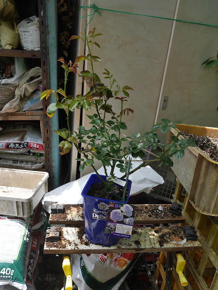 パブロア(Pavlova)の大苗(鉢植え苗)を植え換えた。半ツルバラ。2020年-001.jpg