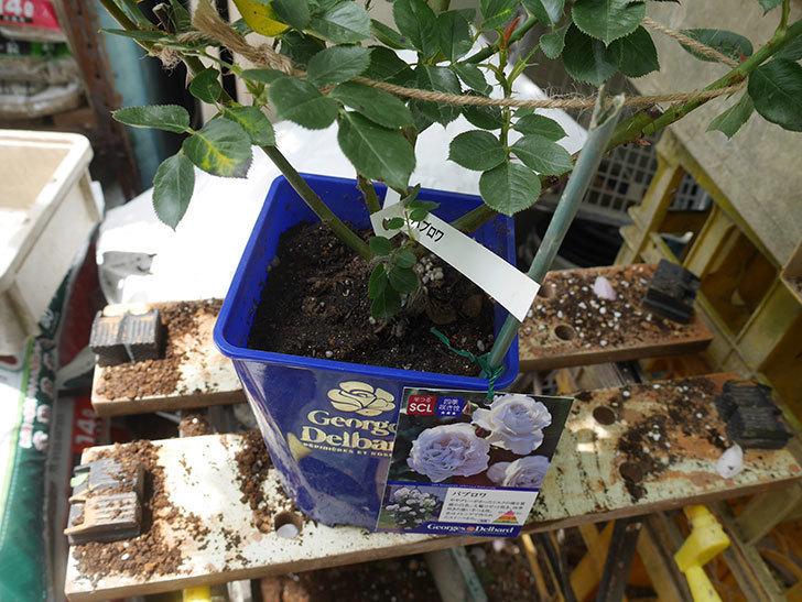 パブロア(Pavlova)の大苗(鉢植え苗)を植え換えた。半ツルバラ。2020年-002.jpg