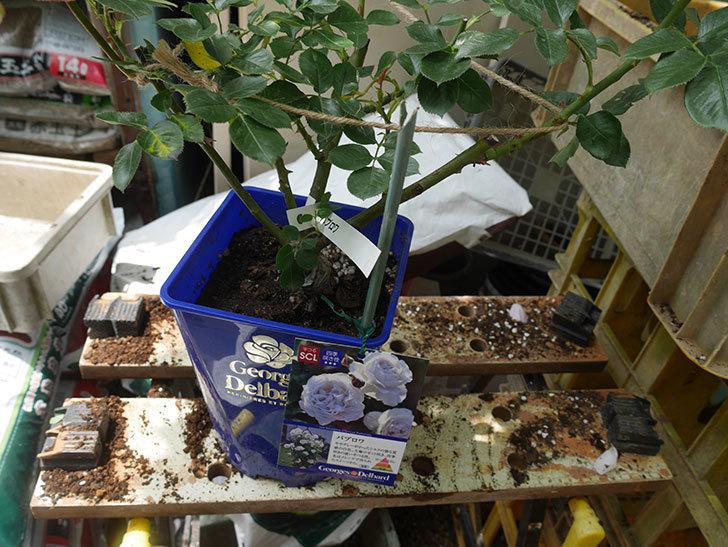 パブロア(Pavlova)の大苗(鉢植え苗)を植え換えた。半ツルバラ。2020年-003.jpg