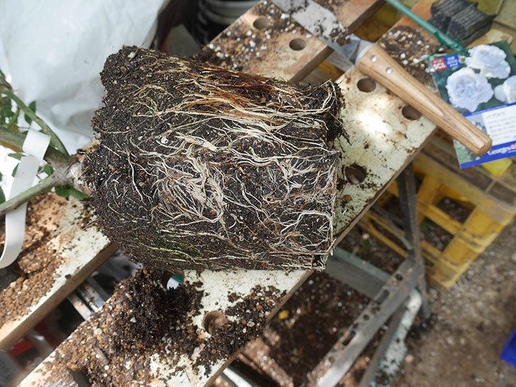 パブロア(Pavlova)の大苗(鉢植え苗)を植え換えた。半ツルバラ。2020年-004.jpg